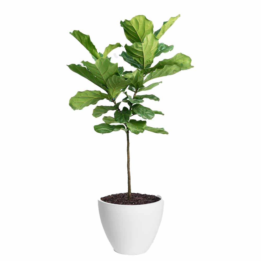 Fiddle-Leaf Fig Tree