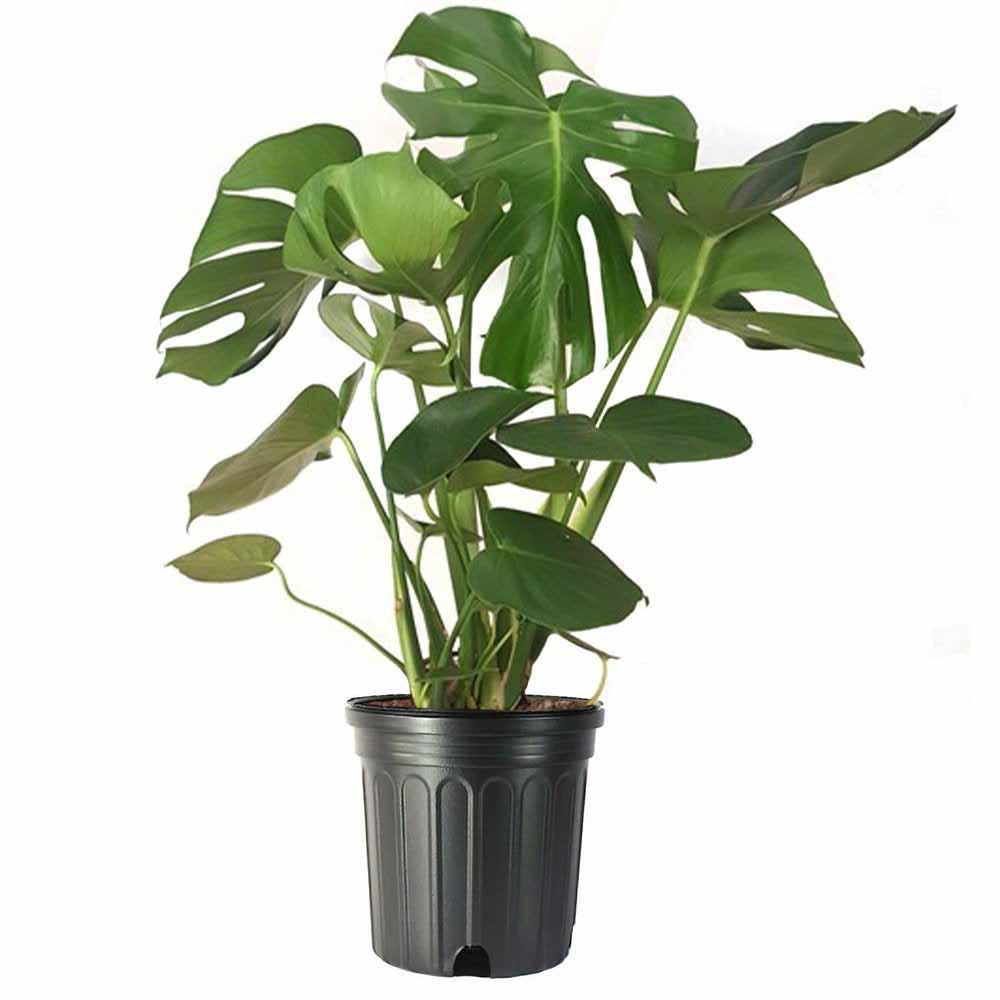split leaf phil